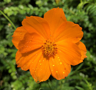 Orange cosmos blossom in the cutting garden at the Eudora Welty House & Garden.