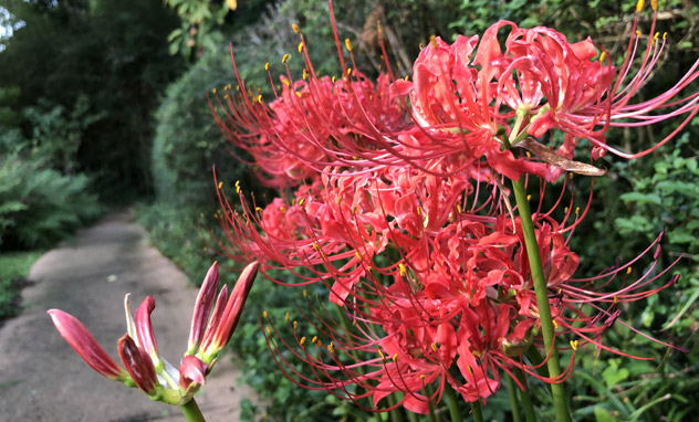 Red spider lilies on the Woodland Garden path at the Eudora Welty House & Garden.