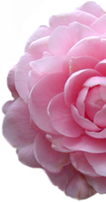 A soft pink camellia blossom from the Eudora Welty House & Garden.