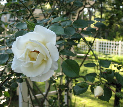 Close up of a white silver moon climbing rose blossom in the Welty garden with trellis in the background.