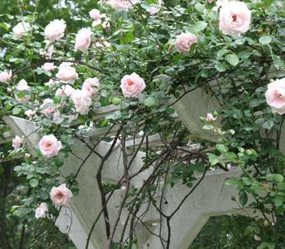 Dr. W. Van Fleet climbing rose blooming on arbor at the Eudora Welty House & Garden.