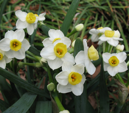 White narcissus blossoms with yellow cup at the Eudora Welty House & Garden.