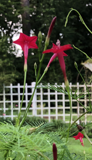 Red cypress vine blooming in front of the trellis at the Eudora Welty House & Garden.
