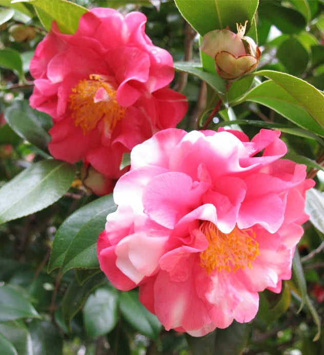 A pair of marbled pink camellias blooming at the Eudora Welty House & Garden.