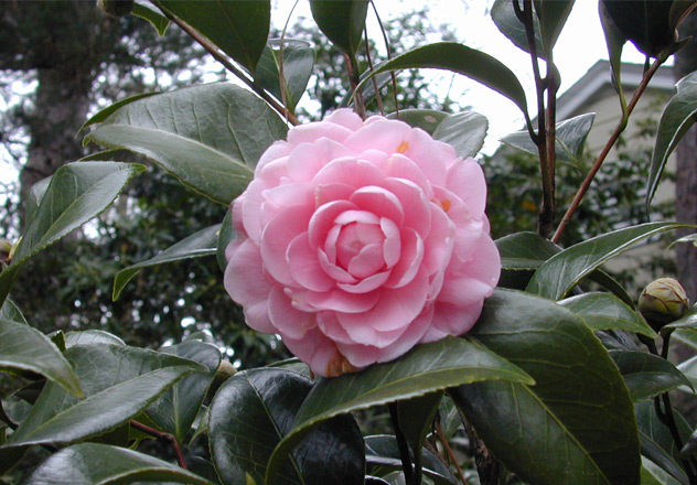 A pink perfection camellia blooming on a shrub in front of the Eudora Welty House.